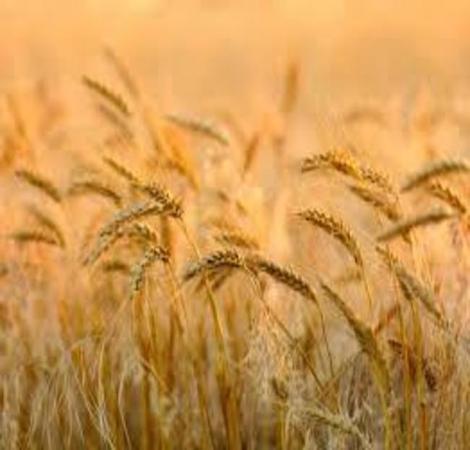 Wheat Cultivars