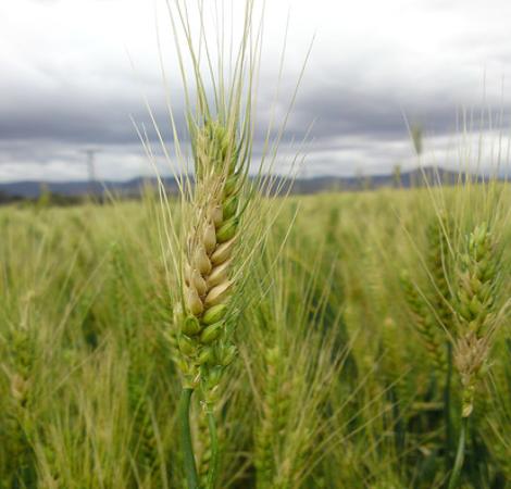 Wheat Pathogens Transcript